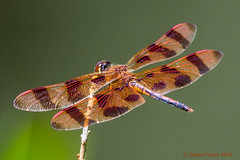 Halloween Pennant Dragonfly (Celithemis eponina) male (danielusescanon - driving to Alaska) Tags: cbec dragonfly halloweenpennant chesapeakebayenvironmentalcenter