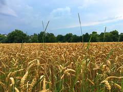 Ein Getreidefeld (10.000 Schritte) Tags: weizen feld getreide himmel blau bume