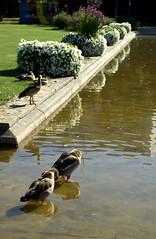 Wiesbaden, Reisinger-Anlage, Nilgänse (Egyptian geese) (HEN-Magonza) Tags: wiesbaden hesse deutschland germany hessen reisingeranlage nilgans egyptiangoose alopochenaegyptiacus