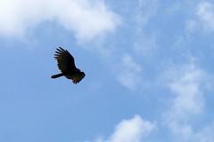 El vuelo del zoncho (Roberto Segura) Tags: zopilote cabeza negra black vulture coragyps atratus zoncho flying fly bird birding birdwatching birds costarica pentax ks2