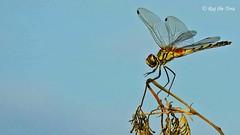 Perched Dragon (Raj the Tora) Tags: dragon dragonfly fly percheddragonfly percheddragon dragonflyperched nature wildlife wild wilderness lake lakebank tank tankbank