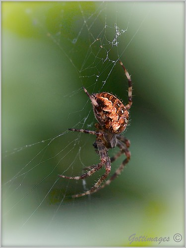 SPIDER by Philip Gott