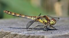 Common Darter Dragonfly  (Sympetrum striolatum) (Explored) 28-08-16 (nick.linda) Tags: odonata 10inexplore commondarterdragonfly sympetrumstriolatum dragonflies insects lowbarnsnaturereserve durhamwildlifetrust ukwildlifetrusts wildandfree canon600deos sigma105mmmacro