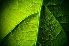thumb_P3183224_1024 (villma113) Tags: leaf avocado