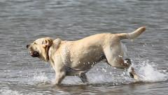 GOLDEN LABRADOR AT PLAY (BIG KEV6 ## THE MACKEM ##) Tags: labrador dog retrever gun training water working loyal best friend