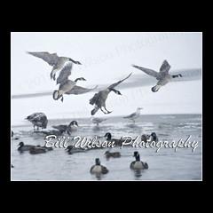 Canada Geese Snow Landing (wildlifephotonj) Tags: canadageesesnowlanding wildlifephotographynj naturephotographynj wildlifephotography wildlife nature naturephotography wildlifephotos naturephotos natureprints birds bird canadagoose canadageese canadiangeese canadiangoose goose geese