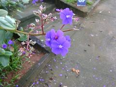 Flores da pracinha (z caaveto) Tags: flor flores lilas perfume natureza jardim beleza