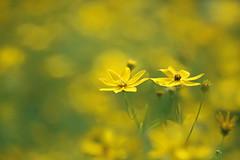 Dancing with Me (lfeng1014) Tags: summerday yellowflower macro macrophotography canon5dmarkiii 100mmf28lmacroisusm depthoffield dof closeup bokeh lifeng blur dancingwithme