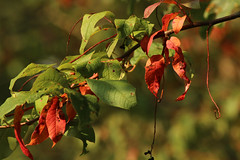 Herbstgefhle (gripspix (OFF)) Tags: leaves bltter autumncolors herbstfrbung