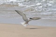 Common Tern (sreejithkallethu) Tags: commontern nature waterbirds birdsofkerala tern vellanathuruth kollam kerala landing