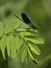 Splendeur de la nature ** (Titole) Tags: caloptéryxéclatant calopteryxsplendens demoiselle damselfly titole nicolefaton green leaves male thechallengefactory