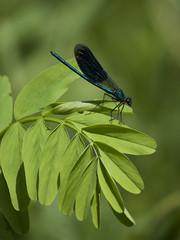 Splendeur de la nature ** (Titole) Tags: caloptryxclatant calopteryxsplendens demoiselle damselfly titole nicolefaton green leaves male thechallengefactory