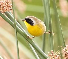 Common Yellowthroat(2) (calibirder) Tags: commonyellowthroat geothlypistrichas woodwarbler coye nevadacounty yellowthroat