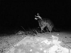 Raccoon - Pigeon Forge, Tn (markkoeberle) Tags: photohopexpress wildlife nature gopro tennessee cabin photgraphy