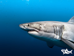 20160919-_DSC7417 (deepbluesea_n) Tags: nikon tokina 1017mm shark greatwhiteshark islaguadalupe guadalupe animals ocean