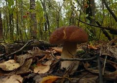 (sergey245x) Tags:        forest mushroom porcini autumn grass foliage plant outdoor