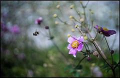 Attack of a Killer Bee (Lens Bubbles) Tags: olympus g zuiko 42cm f18 35s bokeh