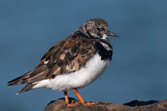 Just Another (Luis-Gaspar-less-active) Tags: animal bird passaro ave limicola wader shorebird turnstone ruddyturnstone roladomar arenariainterpres portugal carcavelos nikon d60 55300 f63 12500 iso400