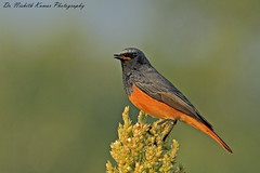 Redstart (Dr. Nishith Kumar Photography) Tags: drnishithkumarphotography drnishith nishith sigma150500 sigma150500mm sgpgims sigma sgpgi animalplanet wildlife wildlifesafari wwf india indianbirds indian indianwildlife redstart red bird littlebird canon canon60d lucknow flickr birdsofindia birdphotography birdsofuttarpradesh bokeh background bg light goldenhour goldenlight grassland golden bestpic