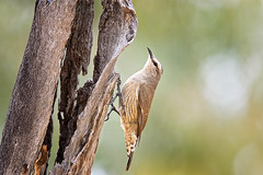 3:01pm, lagoon creek, a brown treecreeper (Fat Burns  (gone bush)) Tags: browntreecreeper climacterispicumnus treecreeper bird australianbird fauna australianfauna lagooncreek barcaldine nature outdoors nikond750 sigma150600mmf563dgoshsmsports sigmateleconvtc1401nik