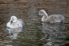 Boys are so annoying (kailhen) Tags: cygnets cygnet fluffy water fun swimming cute sunny reflection