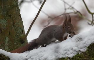 Eichhörnchen, NGIDn1260330291