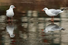 J77A1586 -- Two Black-headed Gulls with reflections on the ice (Nils Axel Braathen -- Thanks a lot for +200K views) Tags: france nature birds canon wildlife gull mouette fugler oiseaux blackheadedgull levsinet lachmwe mouetterieuse hettemke vogeln chroicocephalusridibundus mygearandme mygearandmepremium mygearandmebronze greaterphotographers rememberthatmomentlevel4 rememberthatmomentlevel1 rememberthatmomentlevel2 rememberthatmomentlevel3 rememberthatmomentlevel7 rememberthatmomentlevel9 rememberthatmomentlevel5 rememberthatmomentlevel6 rememberthatmomentlevel8 freedomtosoarlevel1birdsonly vigilantphotographersunite vpu2 vpu3 vpu4 vpu5 vpu6 vpu7 vpu8 vpu9 vpu10