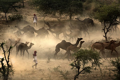 Walking with Camels (Light and Life -Murali ) Tags: light india man men animals walking walk crowd camel dust pushkar camels herd rajasthan mg8301p1s