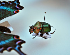 Colorful Dung Beetle (Tantivy_J) Tags: orange macro green insect florida beetle iridescence dung deadinsect coleoptera dungbeetle insecta insectfair scarabaeidae insectmacro nikond60 pinnedinsects insectcollection bugfair insectidentification insectcollecting rainbowscarab iridescentgreenbeetle floridainsects iridescentbeetle entryleveldslr lamnh pinnedspecimens insectcollector northamericandungbeetle phaneausvindex colorfuldungbeetle floridadungbeetle usinsects iridescentgreenbug