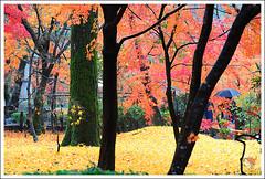 20121126_6825a_京都之秋 (Redhat/小紅帽) Tags: autumn fall japan temple maple kyoto redhat 京都 夕陽 日本 紅葉 秋 夕日 楓葉 あき 秋天 楓紅 eikando もみじ 小紅帽 永觀堂 秋雨 えいかんどう