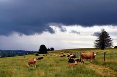 Summer Storm (phunnyfotos) Tags: summer sky cloud storm field weather clouds rural nikon day skies cows farm australia victoria vic storms paddock gippsland warragul stunningskies d5100 nikond5100 phunnyfotos
