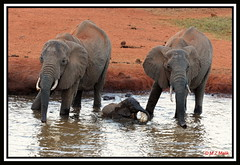 AFRICAN ELEPHANTS (Loxodonta africana) HAVING FUN....TSAVO WEST NAT. PARK....OCT 2012 (M Z Malik) Tags: africa nikon kenya wildlife safari elephants d3x allofnatureswildlifelevel1 exoticafricanwildlife 200400mm14afs tsavowestnatpark kilangunilodge