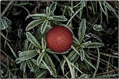 ... IMG_2092 (*melkor*) Tags: christmas xmas winter red green art ice nature grass project dark geotagged frozen experiment conceptual glassball melkor trashbit afrozenxmasproject itsalmostxmas