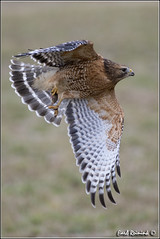Red-shouldered Hawk (20121220-0785) (Earl Reinink) Tags: red ontario canada art nature photography nikon flickr photographer image hawk flight images earl flikr bif d4 art nikon photography images birds nature lens ontario canada ontbirds fine earl flight photographer lenses hawk niagara reinink reinink d4 niagara redshouldered