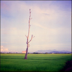 (alemershad) Tags: morning green 120 6x6 tlr analog mediumformat fuji village paddy deadtree squareformat malaysia fujifilm mf analogue padi kampung gunung negativescan sq e6 yashica hijau sawah twinlensreflex yashicamat124g iso160 jerai alem pulaupinang analoguephotography sawahpadi bertam freshfilm fujipro160ns yashinon80mm vescan alemershad 120my canonscan9000f kampungpadang
