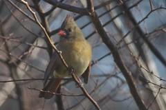 Female Northern Cardinal (Scott Alan McClurg) Tags: wild bird female cardinal wildlife wing feathers seed neighborhood eat perch feed songbird