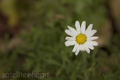 Daisy (Bridie Murray) Tags: summer sun white flower cute floral yellow daisies canon warm little australia brisbane 7d qld daisy bloom 2470l canon7d