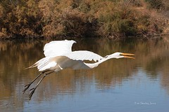 Greater Egret Squawking And Flying. (Tom Stanley Janca) Tags: arizona egret artphoto greateregret gilbertriparianpreserve flyingegret riparianpreserveatwaterranch tomstanleyjanca jancasartphoto