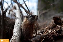 IMG_2943.jpg (Simple Circle Photography) Tags: animals fur furry wildlife location subject marmot wyoming mammals warmblooded grandtetonsarea