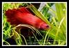 LTankv02.0_Inhabittants (mukyo) Tags: beta sae barbs betta angelfish neontetra rummynosetetra cherryredshrimps ltankv020