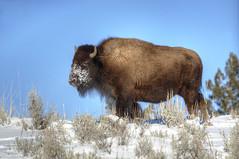 Snow face (Deby Dixon) Tags: travel nature landscape photography nationalpark wolf wildlife moose fox yellowstonenationalpark wyoming bison wyo bullelk debydixonphotography