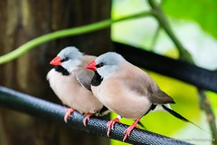 Shaftail Finches (HFF!) (Thelma Gatuzzo) Tags: flowers flores nature birds june butterfly florida natureza ngc insects finches npc 2012 butterflyworld shaftailfinches thelmagatuzzo