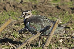Northern Lapwing (Harry'sPhotos) Tags: massachusetts northernlapwing vanellus