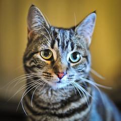 Seti (stephanrudolph) Tags: uk england london animal cat nikon europa europe indoor 50mm14 handheld 50mmf14 50mmf14d d700