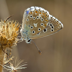 Azur bleu cleste (Polyommatus bellargus) Adonis Blue (Sinkha63) Tags: france macro male nature animal butterfly wildlife lepidoptera papillon martel lycaenidae midipyrnes polyommatus polyommatinae lycaeninae azur polyommatusbellargus adonisblue azurbleucleste