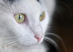 ATTENTION (Angela Raposo) Tags: portrait pet macro nature animal closeup cat 50mm eyes nikon kitten natureza olhos gato gata yoko gatinha macrophotography macrofotografia naturelove animaldomstico macronature nikond3000