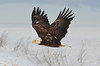 """Strength and Solitude"" (PeterBrannon) Tags: snow snowy flight baldeagle nationalgeographic birdwatcher eagleflight 2013 specanimal allofnatureswildlifelevel1 allofnatureswildlifelevel2 novascotiabirds"