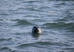 Harbor Seal in Brooklyn (eliotc) Tags:
