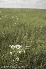 2012 Kansas Wildflowers on the Prairie (Andrea LaRayne Etzel) Tags: flowers white nature floral clouds rural landscape nikon midwest ks country heartland kansas prairie wildflower tallgrass flinthills d5000 andrealarayneetzel