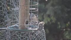 Common Redpoll (Rick Wright, Victor Emanuel Nature Tours) Tags: newjersey january fringillidae commonredpoll redpolls acanthis fringillids